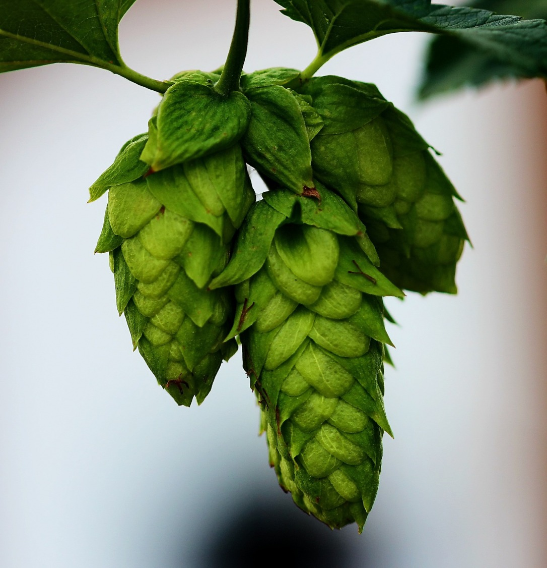 hops-776382_1920